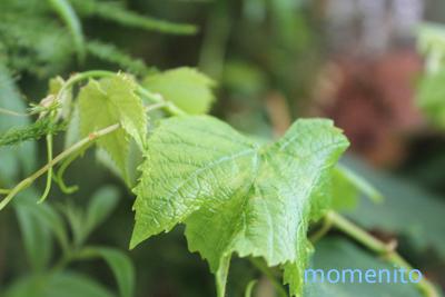 m- grape1