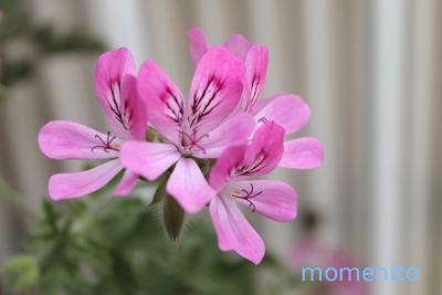 m-rose geranium3