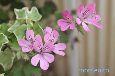 m-rose geranium2