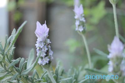 m-lavender.jpg