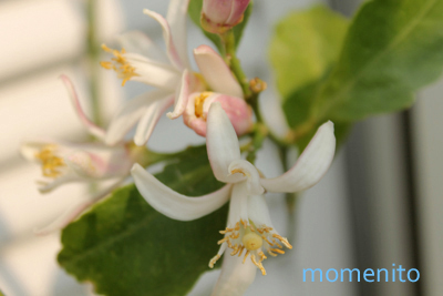 m-lemon2.jpg