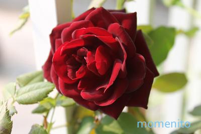 m-rose2.jpg