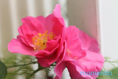 m-rose3-2.jpg
