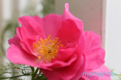 m-rose3-3.jpg