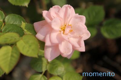 m-rose4.jpg