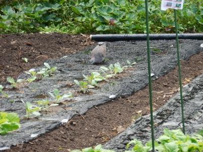 10.6家庭菜園2