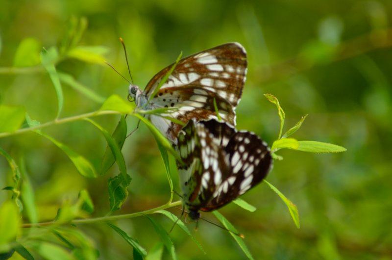 _蝶のラブシーン