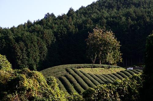 _茶畑DSC_0710