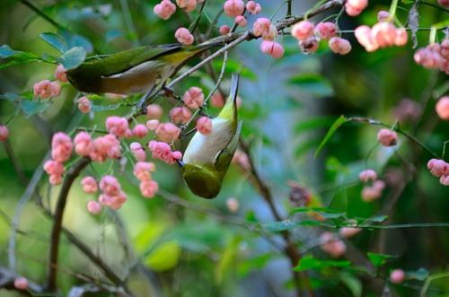 _マユミの木とメジロDSC_0652