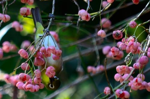 _マユミの木とメジロDSC_0645