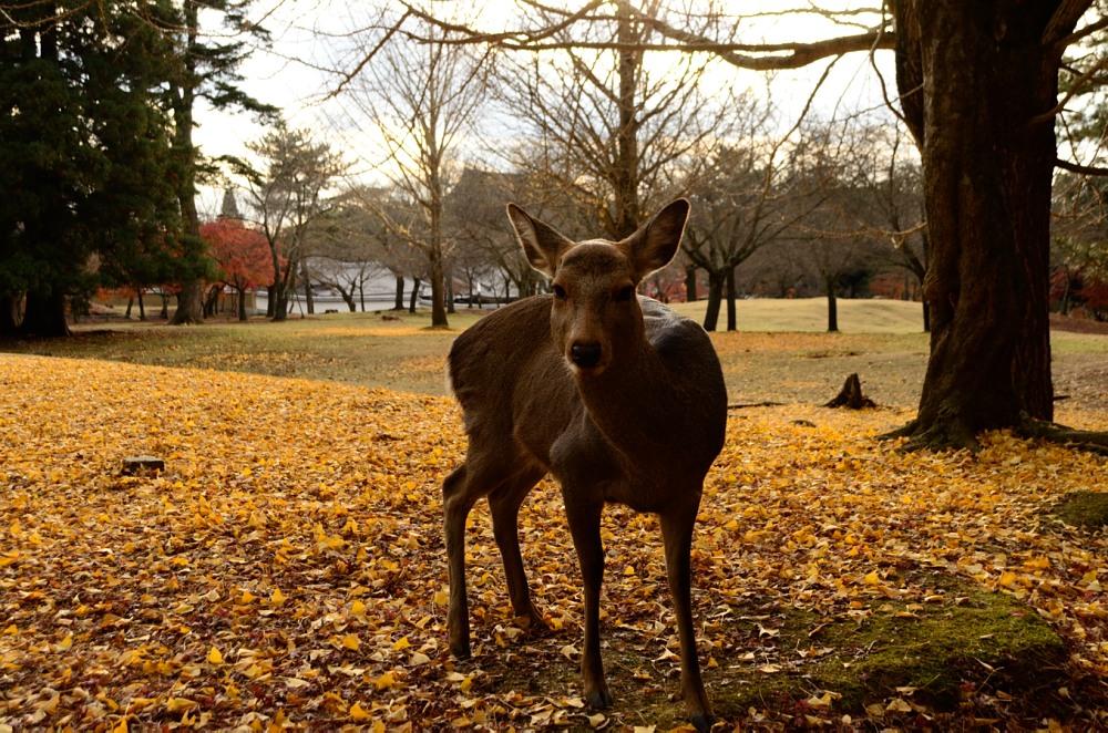 _落葉と鹿DSC_0152