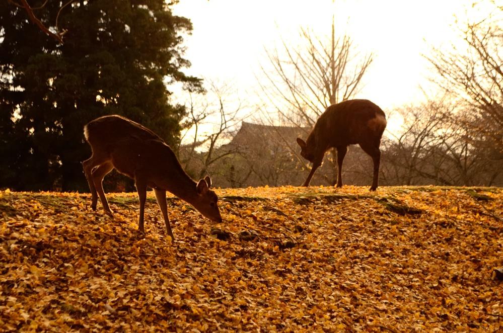 _落葉と太陽と鹿DSC_0176