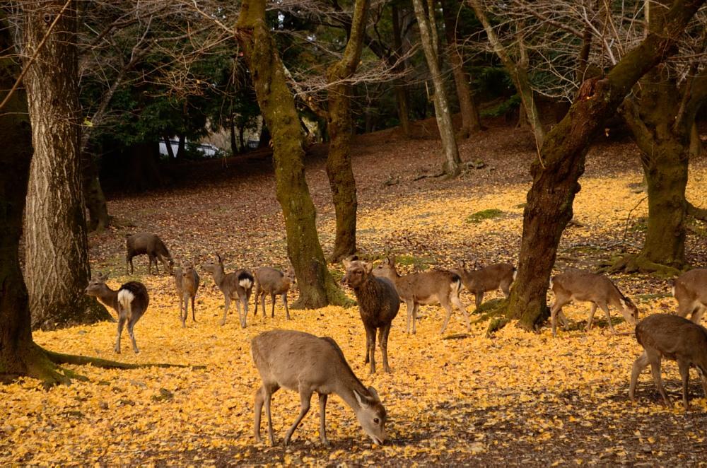 _たくさんの鹿DSC_0208
