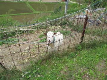 田舎ではヤギを飼います