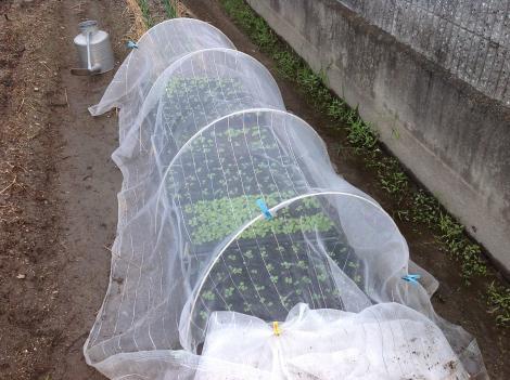 白菜 種まき+002_convert_20120909055610