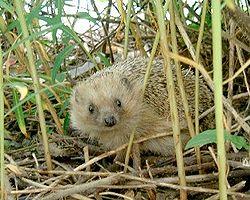 250px-Hedgehog-en.jpg
