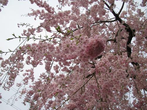 神田川桜3
