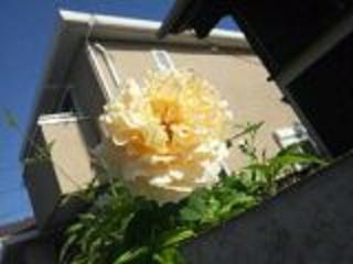 2012 9 17 rose
