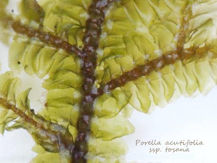 porella acutifolia3