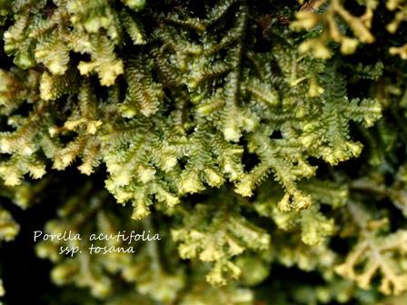 porella acutifolia