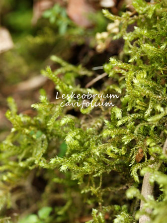 Leskeobryum cavifolium