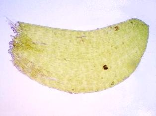 Taxiphyllum arcuatum