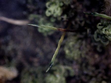Macromitrium japonicum2