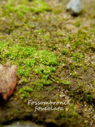 Fossombronia1.jpg