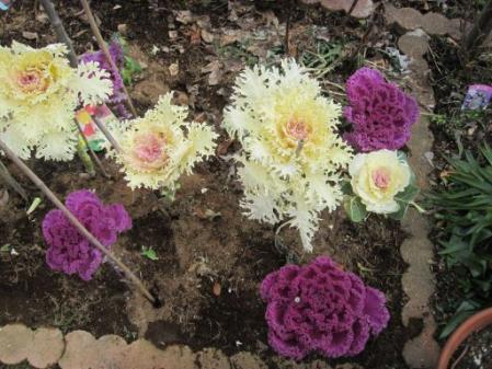 tntnH25-02-12庭の下葉を取った葉ボタン (1)