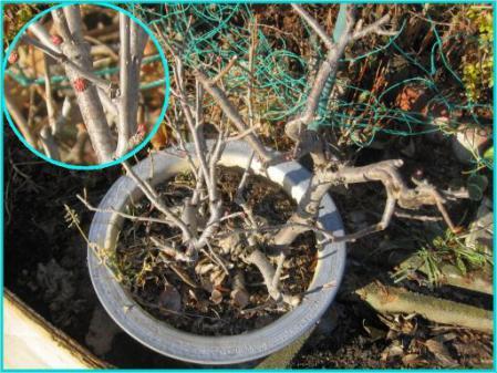 tntnH25-02-20木瓜の花芽 (1)_1