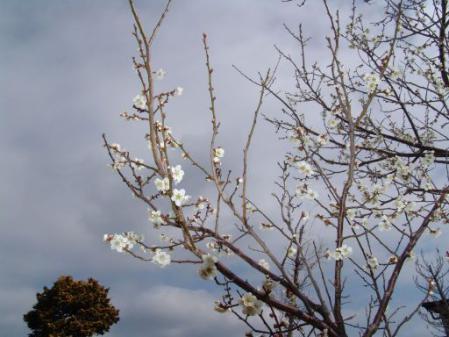 tntnH25-03-15空き地の白梅 (4)