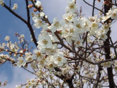 tntnH25-03-15裏の畑の白梅 (6)