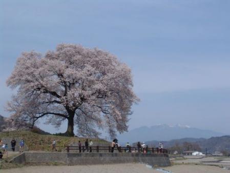 tntnH25-04-01王仁(わにづか)のエドヒガンザクラ (12)