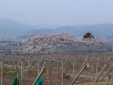 tntnH25-04-01釈迦堂近くの神社の桜 (1)