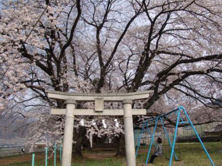 tntnH25-04-01釈迦堂近くの神社の桜 (2)
