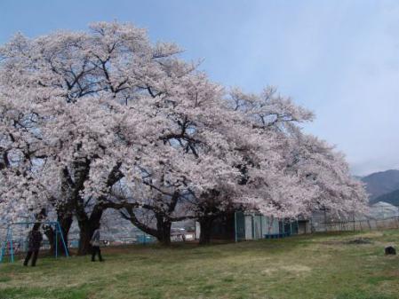 tntnH25-04-01釈迦堂近くの神社の桜 (9)