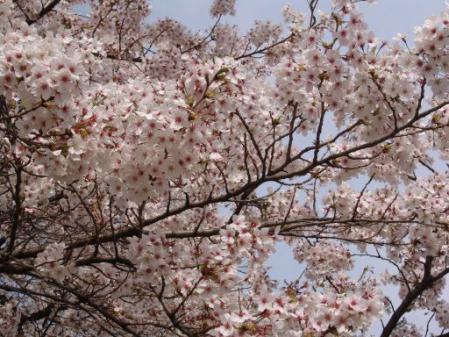 tntnH25-04-01釈迦堂近くの神社の桜 (14)