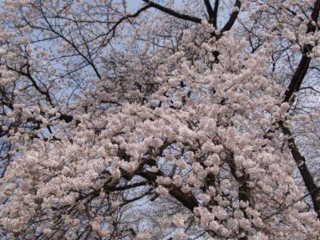 tntnH25-04-01釈迦堂近くの神社の桜 (18)