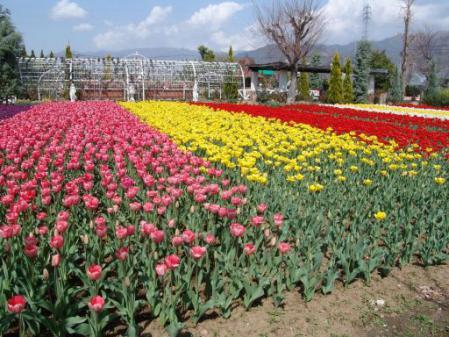tntnH25-04-05ハーブ庭園のチューリップ (5)