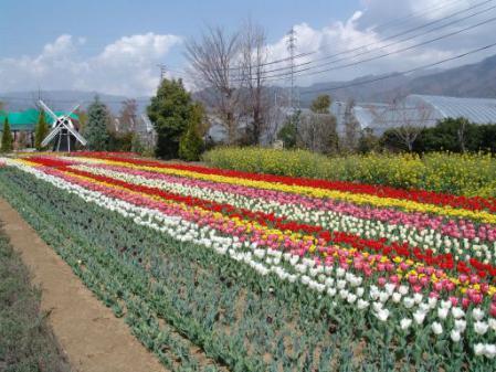 tntnH25-04-05ハーブ庭園のチューリップ (6)