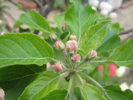 tntnH25-04-10姫リンゴの蕾と花 (4)