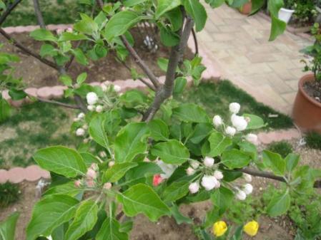 tntnH25-04-10姫リンゴの蕾と花 (5)