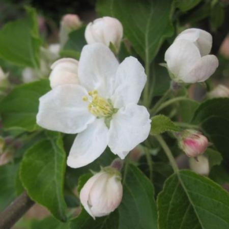 tntnH25-04-12姫リンゴの花 (2)_1