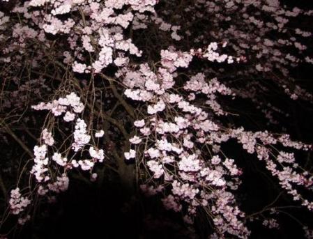 tntnH25-04-12冨士ビューホテルの夜桜 (19)_1