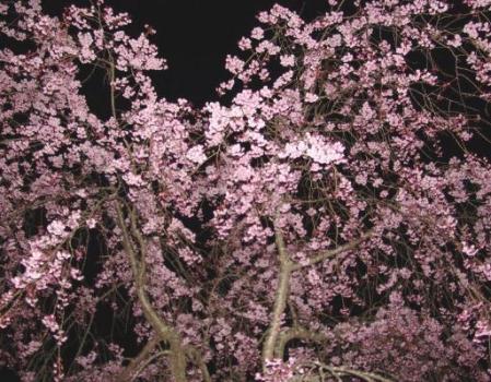 tntnH25-04-12冨士ビューホテルの夜桜 (24)_1