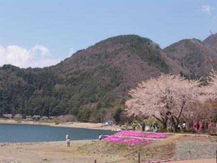 tntnH25-04-15河口湖北岸の桜並木と富士山 (10)
