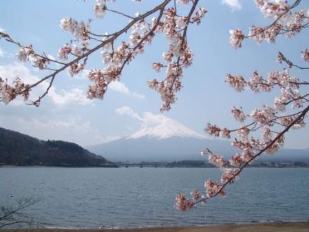 tntnH25-04-15河口湖北岸の桜並木と富士山 (11)