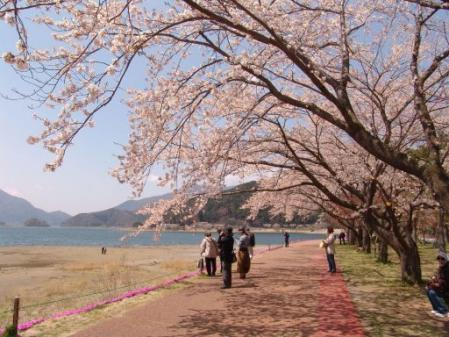tntnH25-04-15河口湖北岸の桜並木と富士山 (12)
