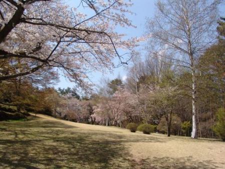 tntnH25-04-15冨士ビューホテルの桜 (16)