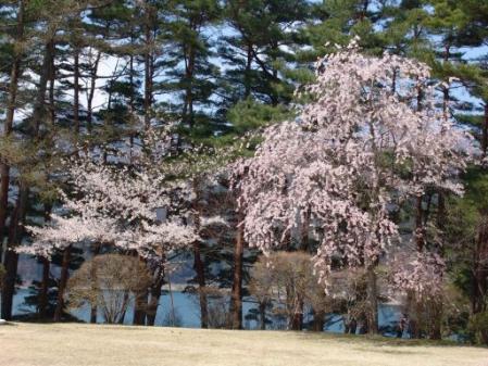 tntnH25-04-15冨士ビューホテルの桜 (31)